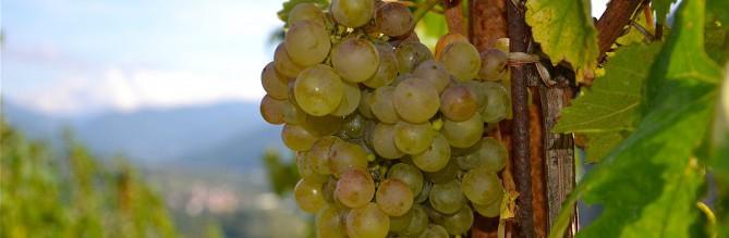 Un vitigno antico ma dalla grande longevità: giovedì 25 ottobre non perdetevi l'appuntamento con il Timorasso